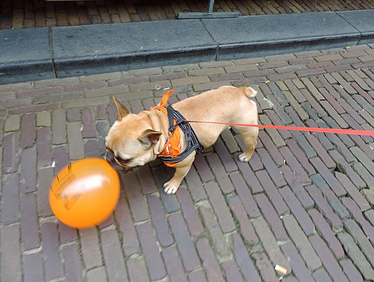 Dit hondje liet hem niet gaan op Koningsdag 2014!, foto Donnie Greve